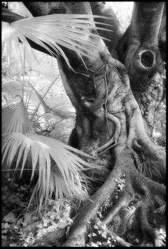 Chengdu, China - Black & White Photograph of Banyan Tree Landscape with Palms
