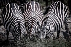 The 3 Stripe-eteers (Limited Edition of 10) - Animal Photography