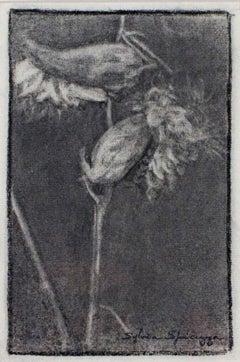 """Milkweed Pod I #528"" original charcoal drawing by Sylvia Spicuzza"