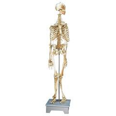 Anatomic Model, Bones, circa 1950