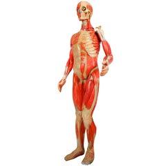 Anatomical Human Model, circa 1930s