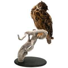Very Large Taxidermy Eurasian Eagle-Owl Mounted on a Black Base and Drift Wood