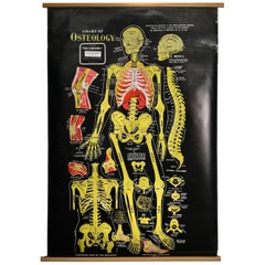 Vintage Anatomical Pull Down Chart 'Osteology, GH Michel Company