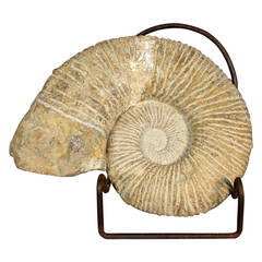 Ammonite Fossil on Stand