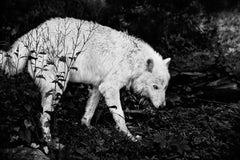 Untitled 22, Shadow Within, Norway/USA - (Animal Photography, Wolf)