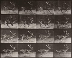 Animal Locomotion: Plate 682 (Stag Running), 1887