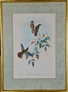 John Gould Antique Hand-Colored Rufous-breasted Sabrewing Hummingbird