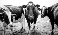 Cows, Kettle Moraine, WI, Framed Black and White Photo of Three Cows Looking