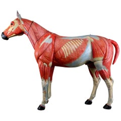 Large Anatomical Model of a Horse by Somso Germany 1920s