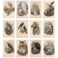 Set Twelve Cream Mounted Exotic Bird Pictures Prints after John Gould, 1804-1881