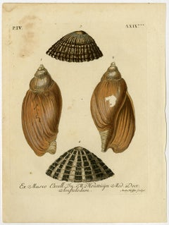 Four different seashells by Andr. Hoffer - Handcoloured engraving - 18th Century