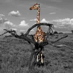 Photography Print - Animal Art - Gillie and Marc - Giraffe admiring Africa