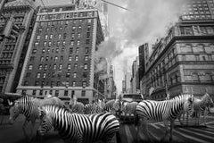 Black White Photography - Art Print - Gillie and Marc - Animal Zebra Stripes