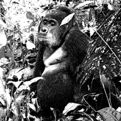 Black White Photography - Animal Art Print - Gorilla relaxing- Gorilla relaxing