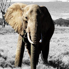 Photography Print - Animal Art - Elephant wandering African landscape