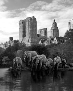 Black White Photography - Art Animal Print - Elephants thirsty for knowledge
