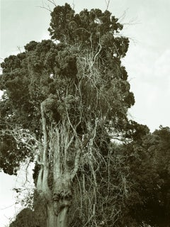 Old tree in Acre I, Photograph, C-Type