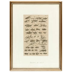 17th Century French Engraving of Insects