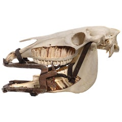 1800s Veterinarians Horse Gag and Cutaway Skull