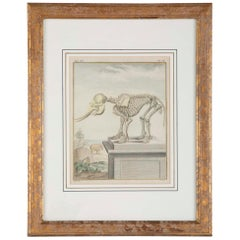 18th Century French Hand Colored Etching of an Elephant Skeleton