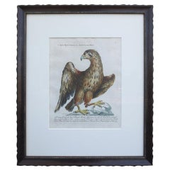 18th Century Italian Etching of the Common Golden Eagle by Violante Vanni