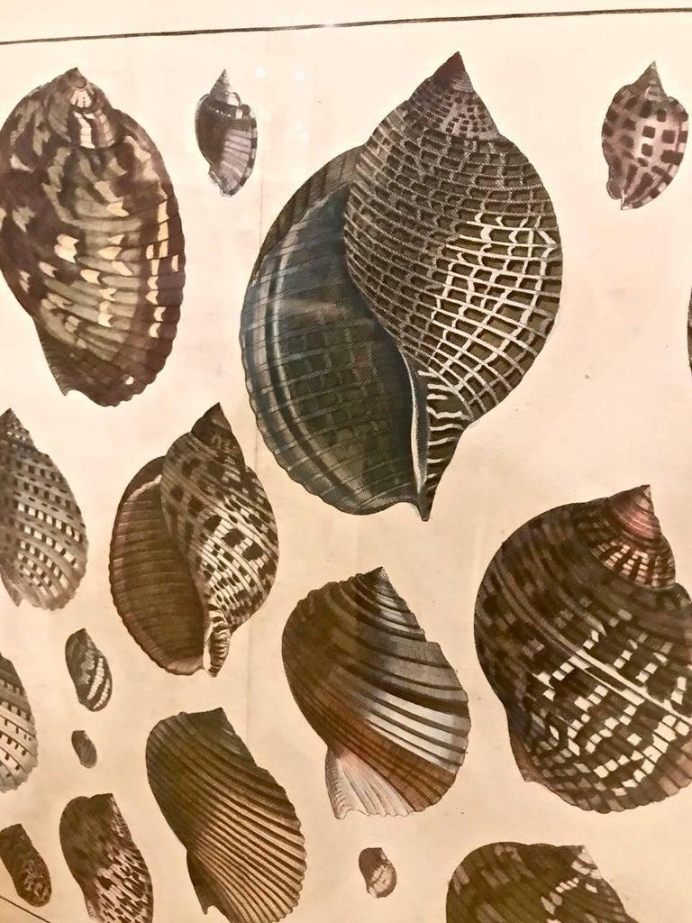18th Century Albertus Seba Shell Engravings, Pair For Sale 3