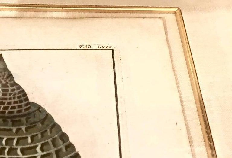18th Century Albertus Seba Shell Engravings, Pair For Sale 4