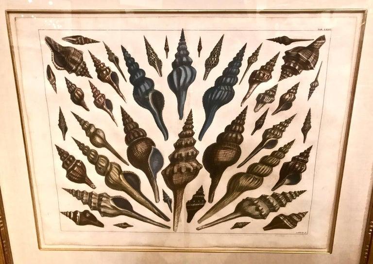 Baroque 18th Century Albertus Seba Shell Engravings, Pair For Sale