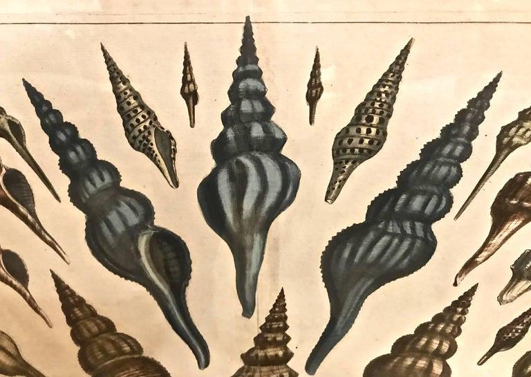 Dutch 18th Century Albertus Seba Shell Engravings, Pair For Sale