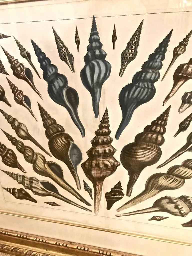Engraved 18th Century Albertus Seba Shell Engravings, Pair For Sale