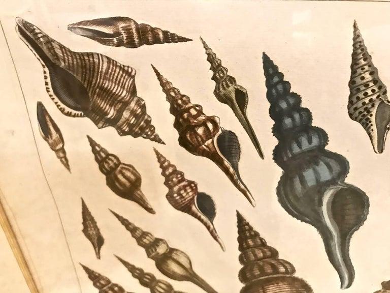 18th Century Albertus Seba Shell Engravings, Pair In Good Condition For Sale In Pasadena, CA