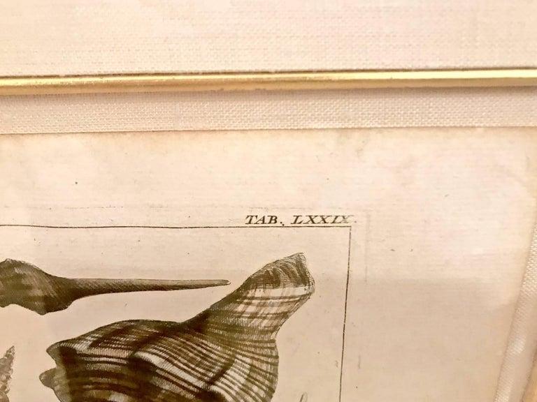 Paper 18th Century Albertus Seba Shell Engravings, Pair For Sale