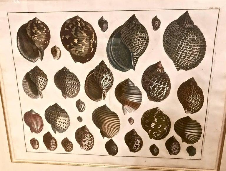 18th Century Albertus Seba Shell Engravings, Pair For Sale 1