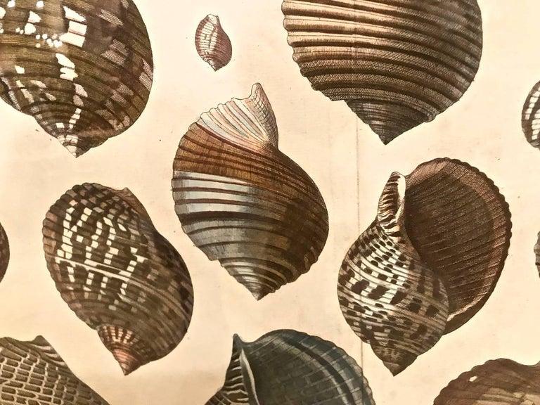 18th Century Albertus Seba Shell Engravings, Pair For Sale 2