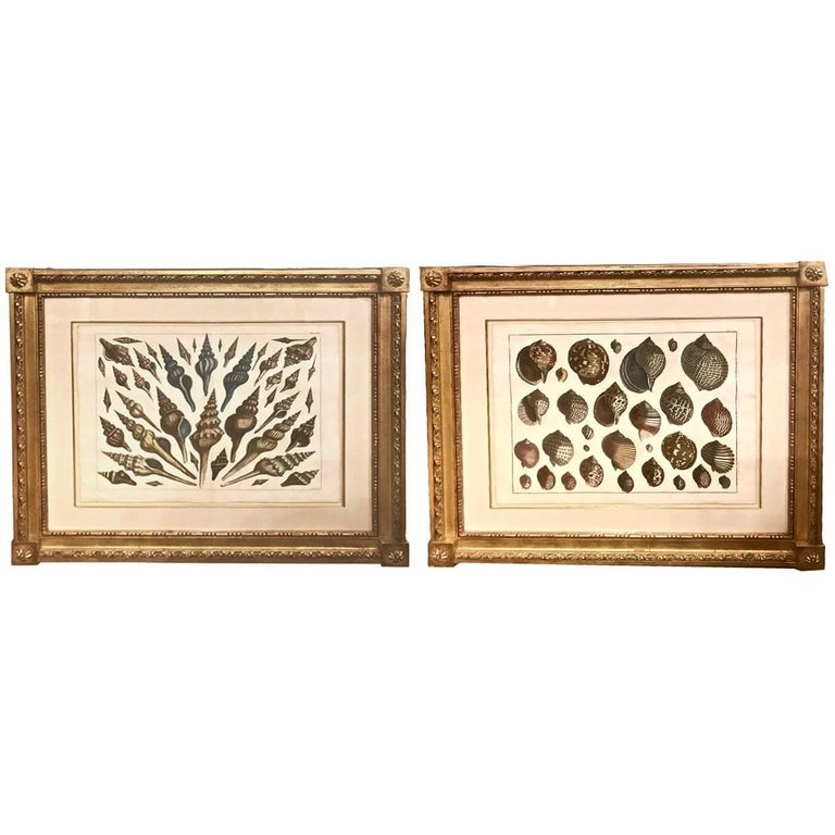 18th Century Albertus Seba Shell Engravings, Pair For Sale