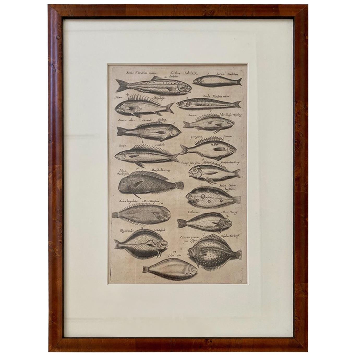 18th Century Woodcut Engraving of Fishes, by Maria Johnston Merian, Printed 1767