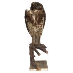 1908, Short-Toed Snake Eagle 'Circaetus Gallicus' on a Tree Stump