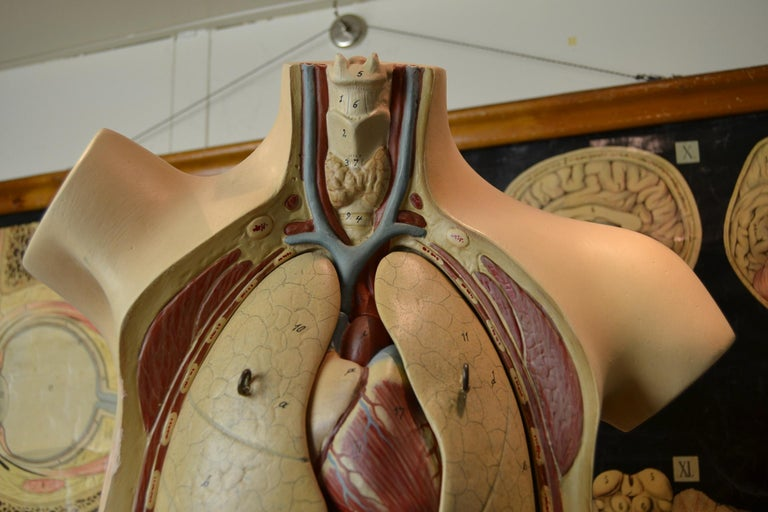 Art Deco 1930s  Anatomical Torso - Didactic - Educational -  Germany  For Sale