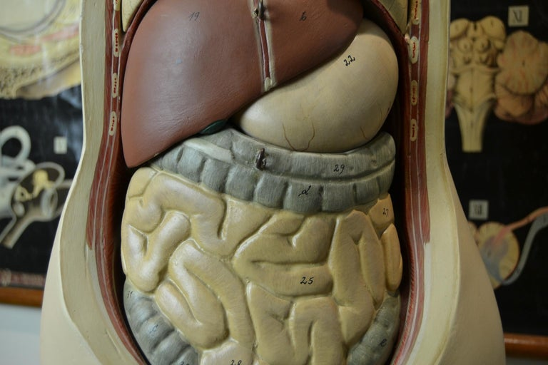 20th Century 1930s  Anatomical Torso - Didactic - Educational -  Germany  For Sale