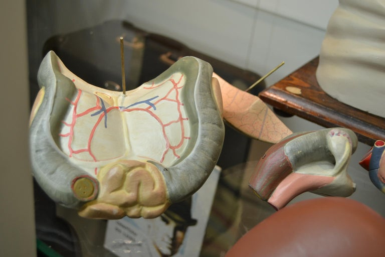 1930s  Anatomical Torso - Didactic - Educational -  Germany  For Sale 2