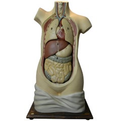 1930s Plaster Anatomical Torso , Didactic or  Educational  Model , Germany
