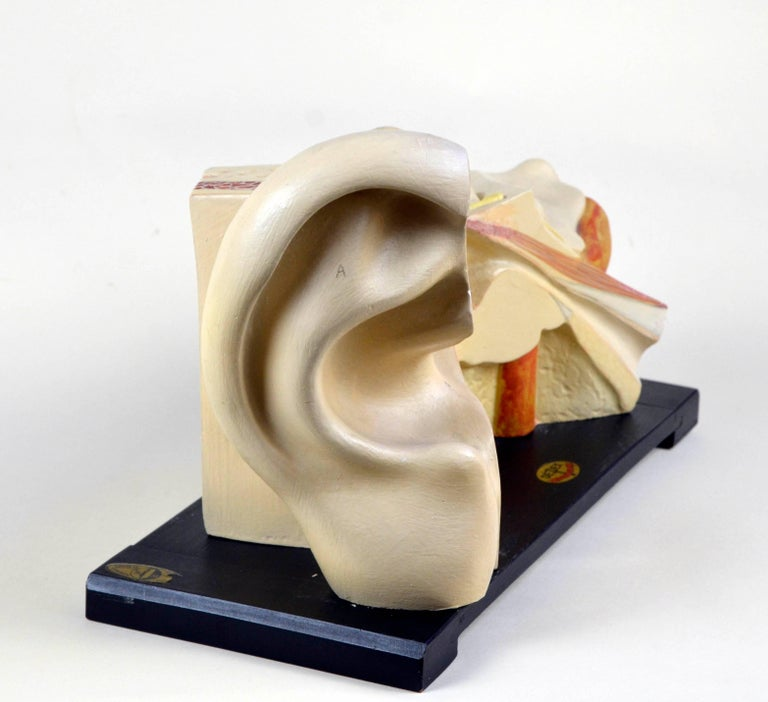 This splendid example of vintage anatomical ear model was realized in the 1930s by LMM Luis M. Meusel Lehrmittelwerkstätten in Sonneberg (Thüringia) In Germany.  The model, realized in plaster, can be dissemble with two detachable parts and have a