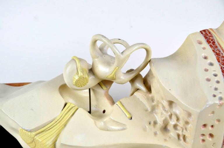 Mid-20th Century 1930s Vintage Anatomical Ear Model in Plaster and Wood from Germany For Sale