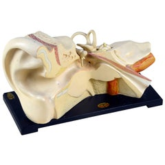 1930s Vintage Anatomical Ear Model in Plaster and Wood from Germany