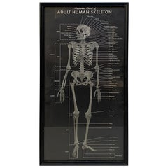 1940s Anatomic Chart of Adult Human Skeletal System