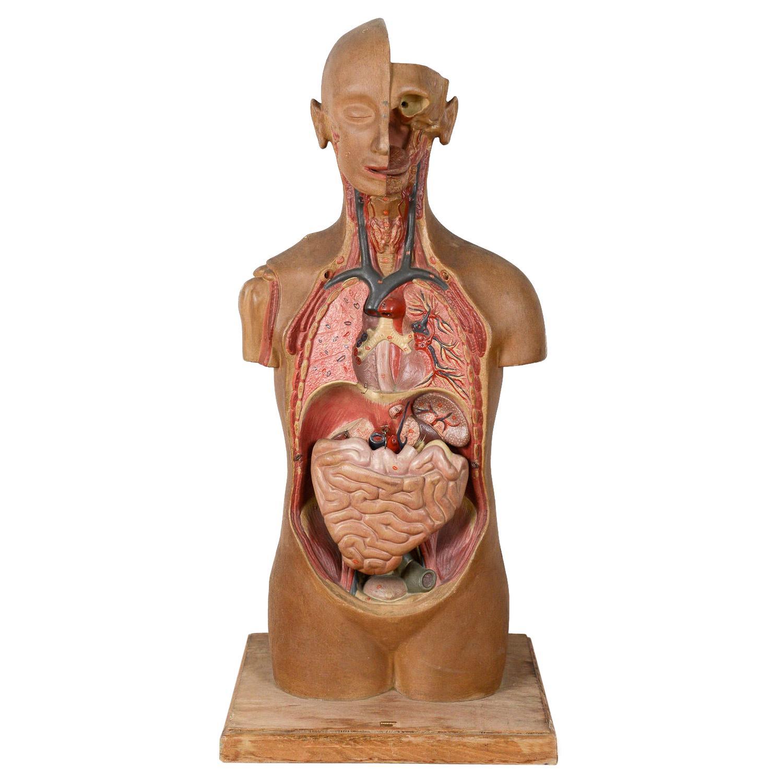 1940s Anatomy Mannequin / Dummy, 20th Century