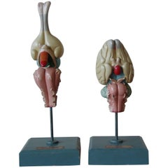 1950s Midcentury Design English Anatomical Models University