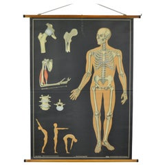 1960s Anatomical Chart Human Skeleton by Wilhelm Hagemann, Germany