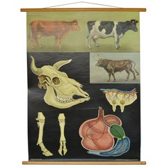 1960s Canvas Wall School Chart of Cow and Bull by Jung Koch Quentell