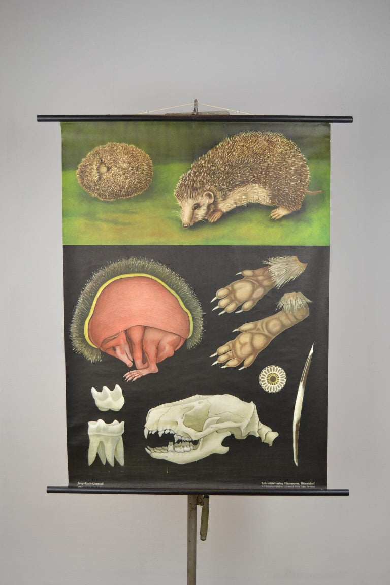 1960s Canvas Wall School Chart of the Hedgehog by Jung Koch Quentell For Sale 11